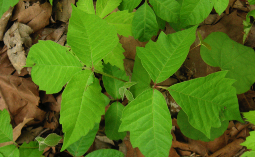 Poisonous Plants in Tennessee